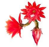 epiphyllum czerwień Zdjęcia Stock