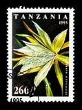 Epiphyllum Darrahii, kaktus kwitnie seria, około 1995 Zdjęcia Stock