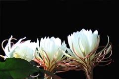 Epiphyllum-Kaktusblume Stockfoto