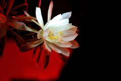 Epiphyllum in middle of the night. The white haze quietly opened in the middle of the night Royalty Free Stock Photos