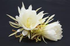 Epiphyllum Oxypetalum Obrazy Stock