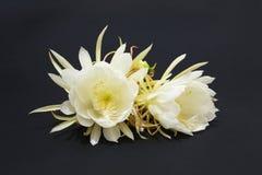 Epiphyllum Oxypetalum Obrazy Royalty Free