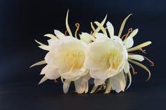 Epiphyllum Oxypetalum zdjęcia stock