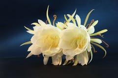 Epiphyllum Oxypetalum fotografia royalty free