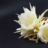 Epiphyllum Oxypetalum zdjęcie stock
