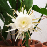 Epiphyllum Oxypetalum Stock Photo