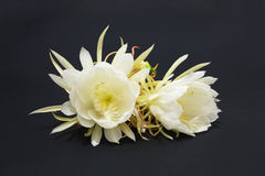 Epiphyllum Oxypetalum Royalty Free Stock Images