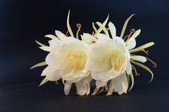 Epiphyllum Oxypetalum Stock Photos