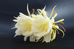 Epiphyllum Oxypetalum Royalty Free Stock Photo