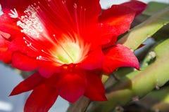 Epiphyllum  red flower Royalty Free Stock Photos