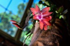 Epiphyllum, teresita di Santa fotografia stock