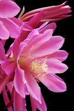 Epiphyllum Wendy hybrid Stock Photos