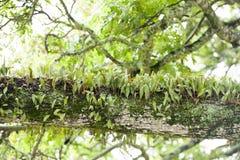 Epiphyte dorośnięcie w tropikalnym lesie deszczowym Zdjęcie Stock