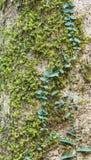 epiphyte drzewo Zdjęcia Royalty Free