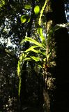 Epiphyte em uma árvore, Backlit contra Forest Background escuro Foto de Stock Royalty Free