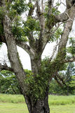 Epiphytes Stock Photography