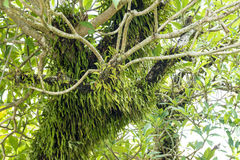 Epiphyte growing on tree in Rainforest Stock Image