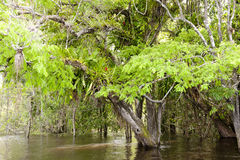 Epiphytes on Amazon. Epiphyte growing in the flooded tropical rainforest of a tributary stream of Amazon royalty free stock images
