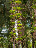 Epiphytes on coconuts trees Royalty Free Stock Images