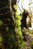 Epiphytes het groeien op een boom in het regenwoud Stock Afbeelding