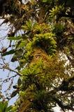 Epiphytes Stock Image
