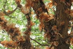 Epiphytes på det stora trädet Royaltyfria Bilder