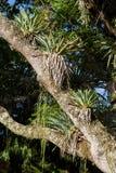 Epiphytes sur un arbre grand Images stock