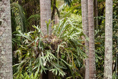Epiphytic bromeliad growing on tree trunk Royalty Free Stock Photography