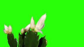 Epiphytic cactus. De witte schlumbergerabloem ontluikt het groene scherm, VOLLEDIGE HD. (Schlumbergera Bridgesii) stock videobeelden