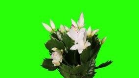 Epiphytic cactus. De witte schlumbergerabloem ontluikt het groene scherm, VOLLEDIGE HD. (Schlumbergera Bridgesii) stock video