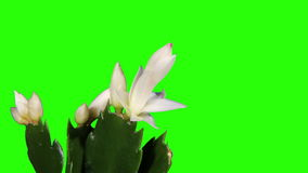 Epiphytic cactus. White schlumbergera flower buds green screen, FULL HD. (Schlumbergera Bridgesii) stock video footage