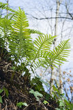 Epiphytic fern (Polypodium vulgare) Royalty Free Stock Photos