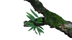 Epiphytic gröna sidor ormbunke och mossor växer på gammal riden ut djungelträdfilial i den tropiska rainforesten som isoleras på  arkivbild