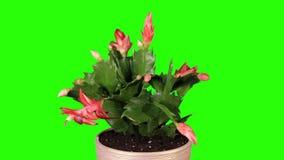 Epiphytic Kaktus. Rote Schlumbergerablumenknospen grünen Schirm, VOLLES HD. (Schlumbergera Bridgesii) stock footage