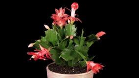 Epiphytic Kaktus. Rotes Schlumbergerablumenknospenalpha Matt-, VOLLES HD. (Schlumbergera Bridgesii), stock video