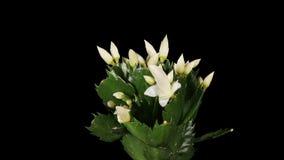 Epiphytic Kaktus. Weißes Schlumbergerablumenknospenalpha Matt-, VOLLES HD. (Schlumbergera Bridgesii) stock footage