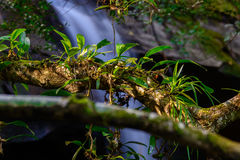 Epiphytic orchids Depending on tree. Royalty Free Stock Photography