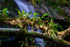 Epiphytic orchids Depending on tree. Royalty Free Stock Photos