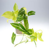 Epipremnum aureum (family Araceae) plant in pot.  Stock Image