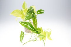 Epipremnum aureum (family Araceae) plant in pot.  Royalty Free Stock Photography