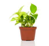Epipremnum aureum (family Araceae) plant in pot. Isolated on white background. family Araceae Royalty Free Stock Photography