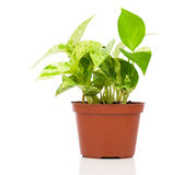 Epipremnum aureum (family Araceae) plant in pot. On white background.  family Araceae Royalty Free Stock Photos