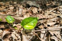 Epipremnum aureum Stock Images