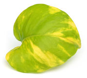 Epipremnum aureum or Money plant leaf Stock Images