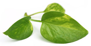 Epipremnum aureum or Money plant Royalty Free Stock Photos