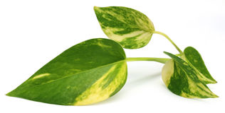 Epipremnum aureum or Money plant Royalty Free Stock Image
