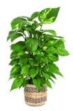 Epipremnum aureum plant Royalty Free Stock Image
