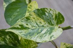 Epipremnum Aureum Plants Royalty Free Stock Photography
