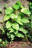 Epipremnum aureum Royalty Free Stock Photo