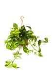 Epipremnum Pinnatum Aereum Fotografia de Stock Royalty Free